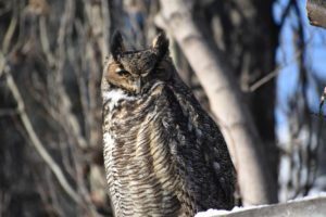 Urban Wildlife- Even the big city can harbor wild creatures you wouldn't usually expect. This Great Horned Owl would normally be nighttime hunter in the forest, but one decided to perch upon a neighbors fence for a nap during a winters day.Photo © Kerri Meier