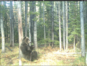 Grizzly Bear relaxing with a full tummy near Sullivan Creek, just west of Longview, AlbertaSubmitted by: Robin Arthurs